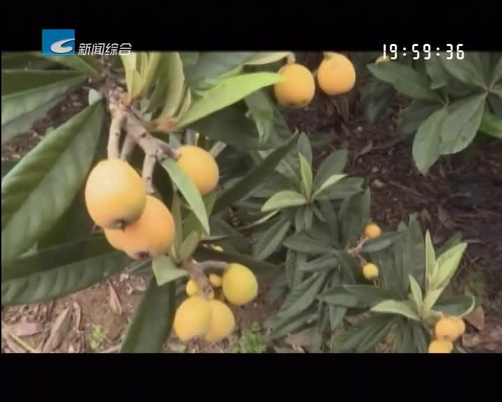 莲都枇杷新鲜上市 今年品质好于上年