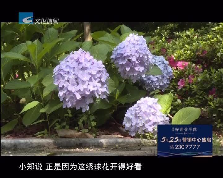 价值上万元 市区卢镗街绿化带的绣球花被偷盗