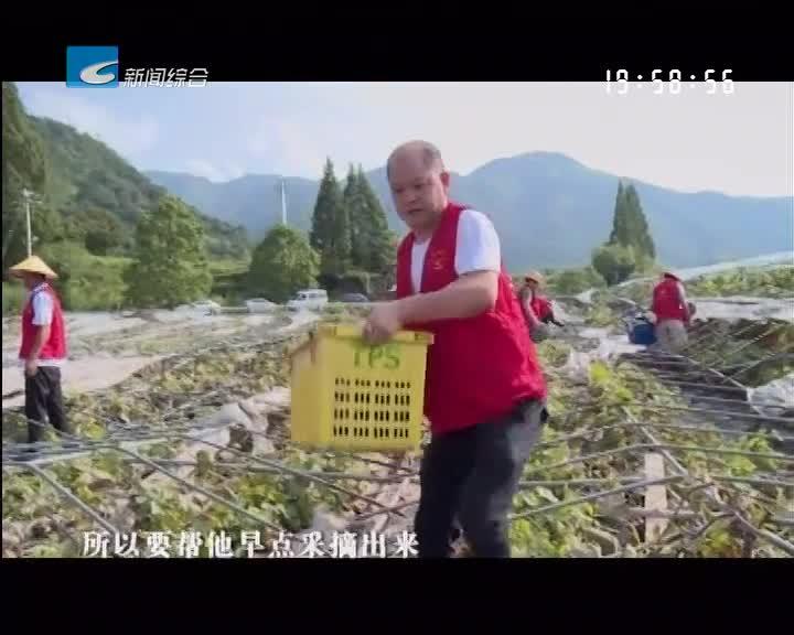 缙云:葡萄园受灾严重 八方支援来止损