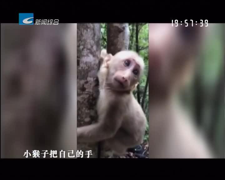 龙泉:登山队员户外解救一只藏酋猴幼猴