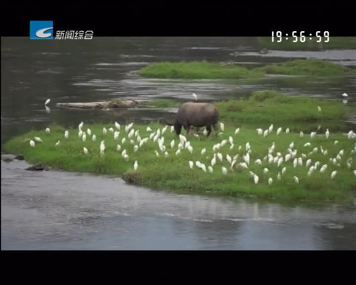 松阳:白鹭飞临松阴溪 场面壮观引人来