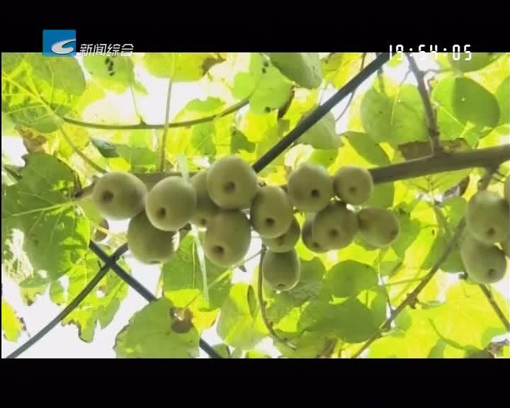 我们的节日-中秋:景宁:果园迎来采摘忙