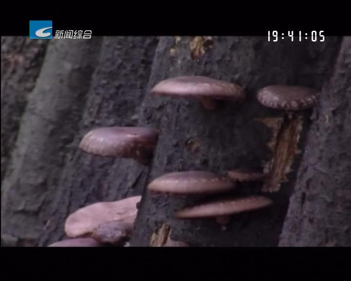 壮丽70年 奋斗新时代------ 丽水再出发:龙泉:一朵小香菇做成富民大产业