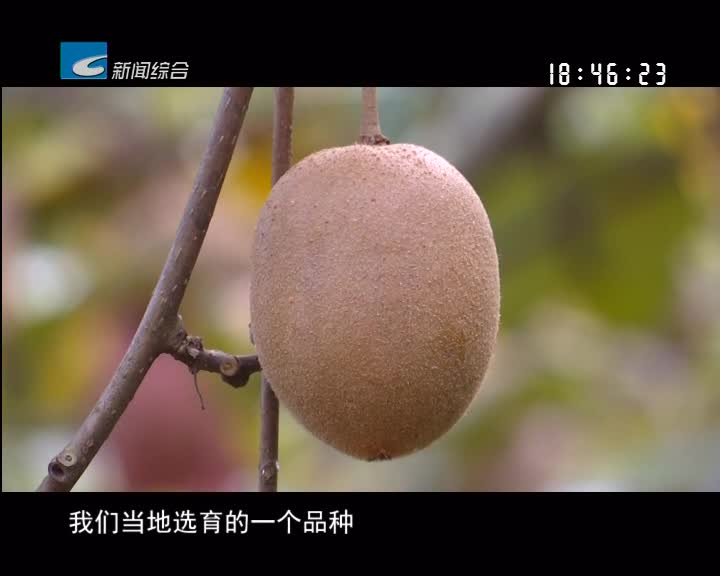 【聚焦生态精品农业】金丽:猕猴桃家族又添新品种