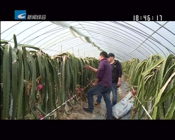 【聚焦生态精品农业】火龙果:观光农业的新宠