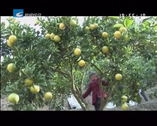 处州丰收季:庆元:甜桔柚喜获丰收