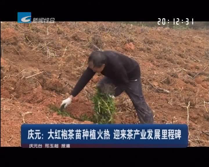 庆元:大红袍茶苗种植火热 迎来茶产业发展里程碑