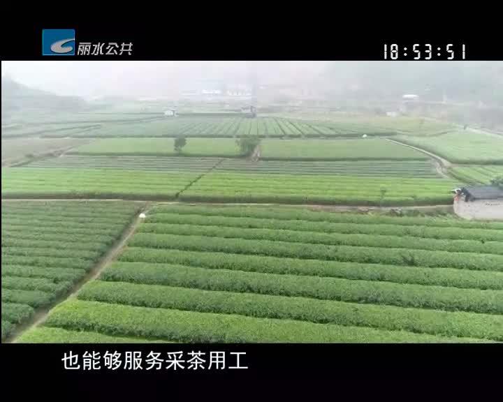 """记者蹲点看复工:松阳春茶集中开采 外来采茶工成""""香饽饽"""""""