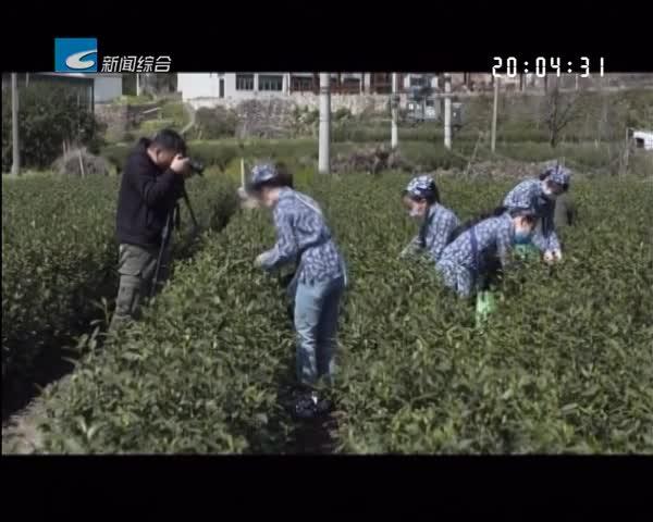 两手抓 两手硬 两战赢:缙云:县长变身主播 直播推销春茶