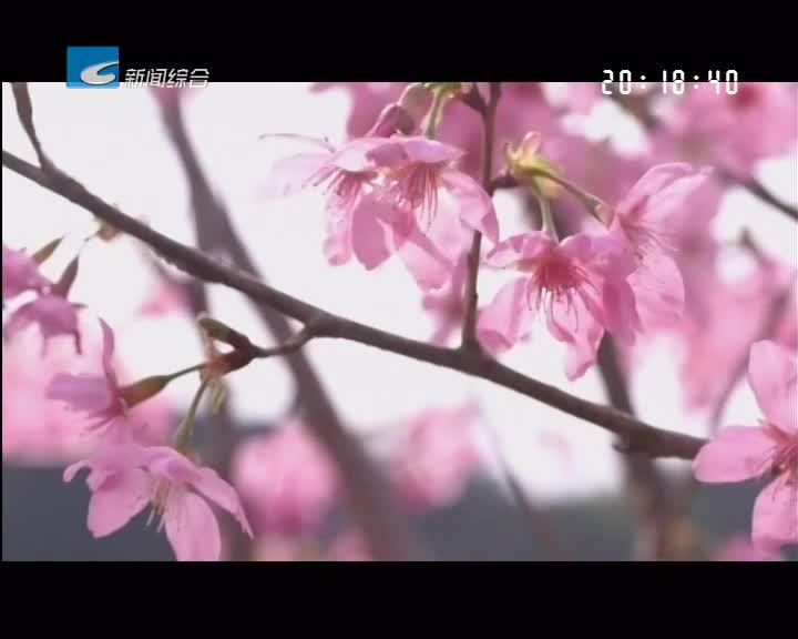 云游丽水:龙泉:住龙樱花谷樱花盛开