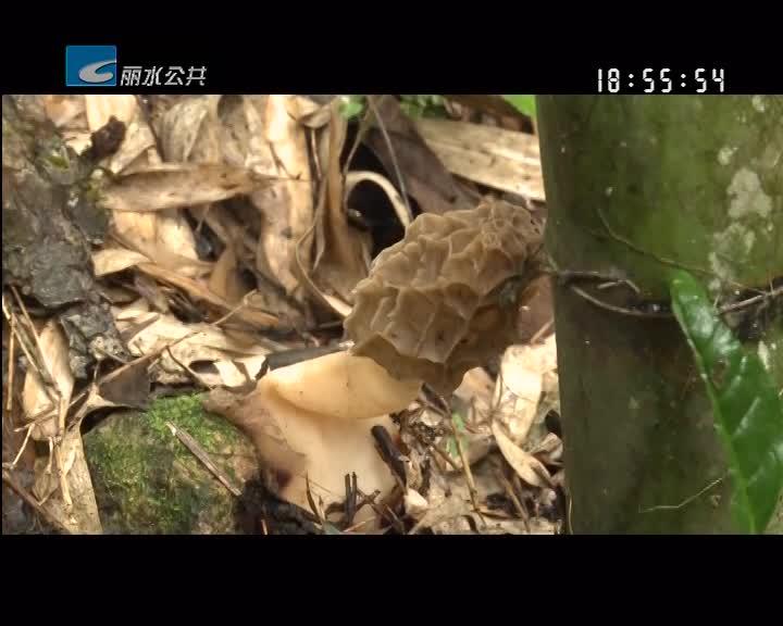 庆元发现大量珍稀野生羊肚菌 专家着手采集和驯化