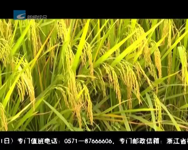 """处州丰收季:龙泉:再生稻亩产创新高 """"一种两收""""助农增收"""