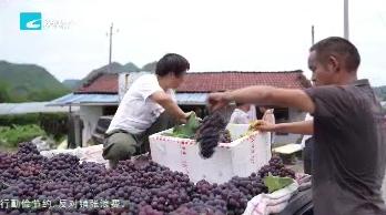 处州丰收季:缙云小仙都:葡萄上市采摘忙  价格稳定销路畅