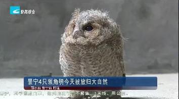 景宁4只领角鸮今天被放飞回大自然
